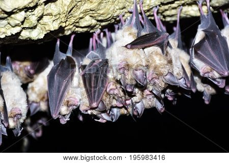 Group of Greater horseshoe bat (Rhinolophus ferrumequinum)