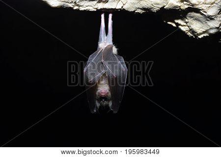 Greater horseshoe bat( Rhinolophus ferrumequinum)  in cave