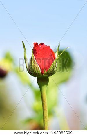 Red rose bud in the garden. The buds of red roses. Caring for garden roses shrubs. Landscape design