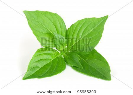 basil herb leaves isolated on white background closeup.