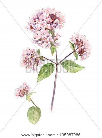 watercolor illustration background oregano herb pink flower