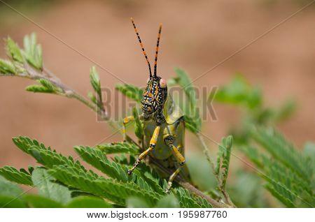 Macro shot of a locust sitting on green plants