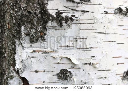 Birch bark texture for natural gray background