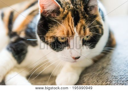 Closeup Of Angry Calico Cat Looking Being Distracted During Grooming