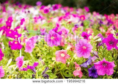 Beautiful multicolor of Petunia flowers in garden close up.