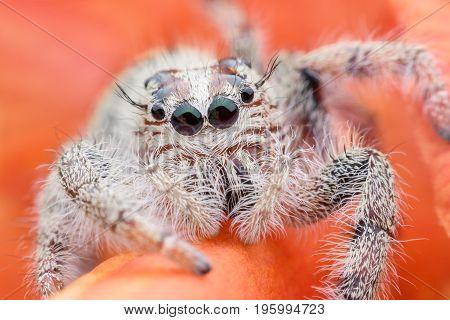 Super macro female Hyllus diardi or Jumping spider on flower