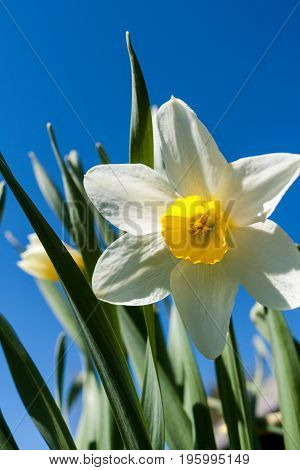 Close-up one white narcissus on bright blue sky background.