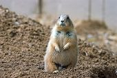 prairie dog on guard poster