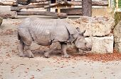 rhinoceros in zoo poster