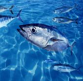 Bluefin tuna Thunnus thynnus fish school underwater swimming blue ocean poster