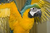 Beautiful Blue & Gold Macaw with His Wings Spread poster