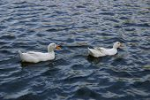 two swans floating along in the water. ** Note: Slight blurriness, best at smaller sizes poster