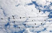 Swallow on the power lines in rural Poland poster