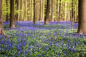 Blue Forest. The Hallerbos, also known as the Blue Forest, in Belgium where once a year the forest is covered in millions of bluebells. Ecotourism, natural conservation concept poster