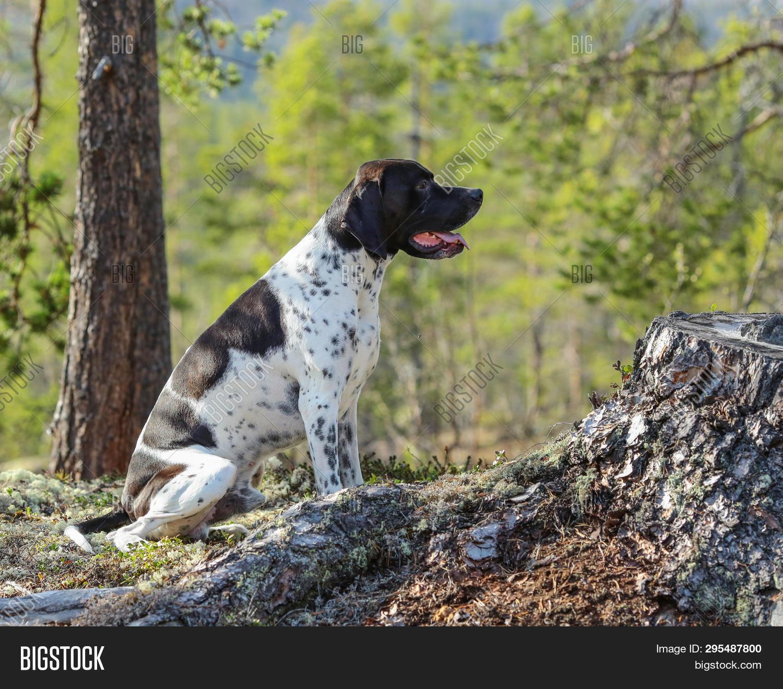 Hunting Dog English Image Photo Free