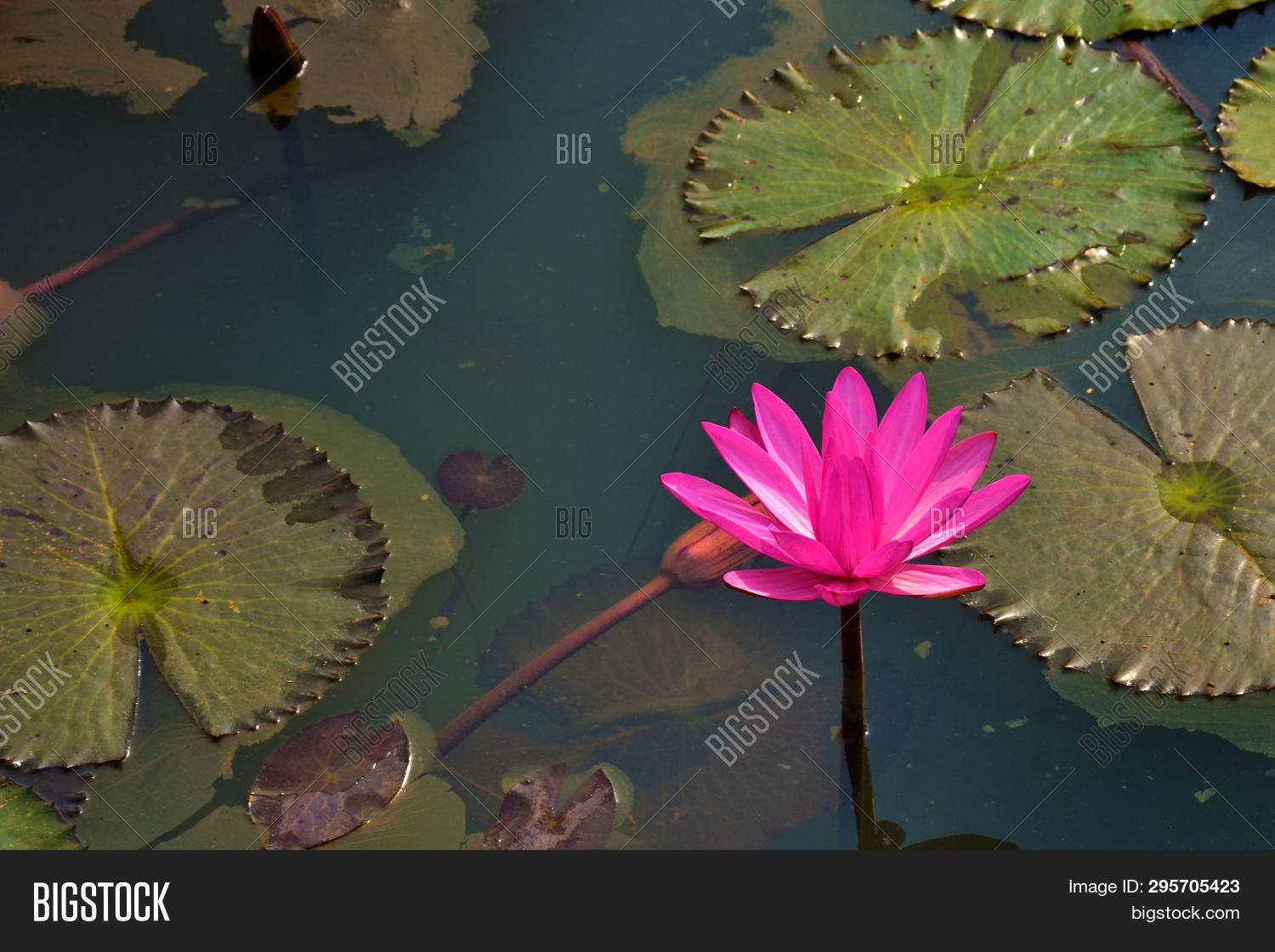Pink Red Water Lily Image Photo Free Trial Bigstock