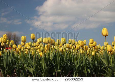 Yellow Tulips In Rows On Flower Bulb Field In Noordwijkerhout In The Netherlands
