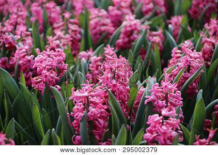 Pink Hyacinths In Rows On Flower Bulb Field In Noordwijkerhout In The Netherlands