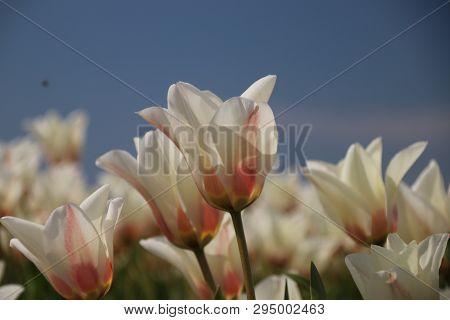 White Tulips In Rows On Flower Bulb Field In Noordwijkerhout In The Netherlands