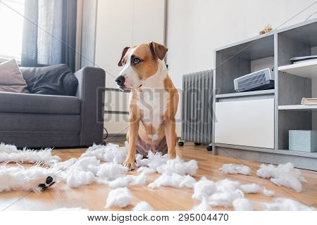 Guilty Dog And A Destroyed Teddy Bear At Home. Staffordshire Terrier Sits Among A Torn Fluffy Toy, F
