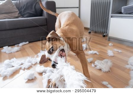 Funny Playful Dog Destroying A Fluffy Pillow At Home. Staffordshire Terrier Tearing Apart A Piece Of