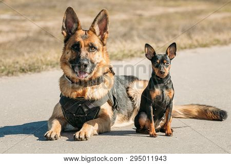 Brown German Sheepdog Alsatian Wolf Dog And Black Miniature Pinscher Pincher Sitting Together On Roa