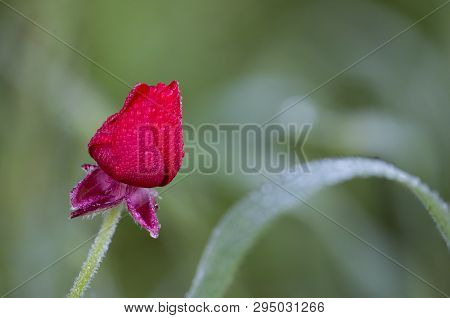 Ranunculus Asiaticus, Also Known As Persian Buttercup Or Scarlet Crowfoot, A Red Mediterranean Wildf