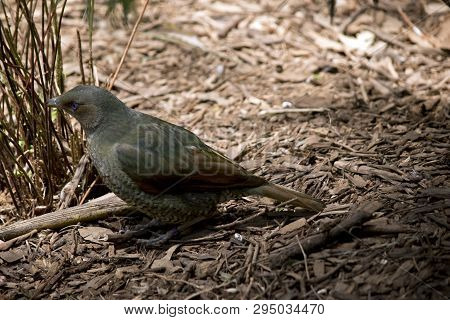 The Satin Bower Bird Is Searching For Food On The Ground