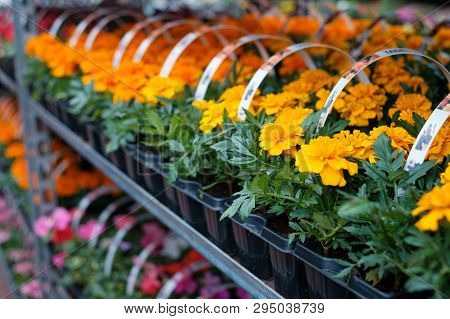 Many Colorful Flowers In A Row At  Nursery Or Flower Shop