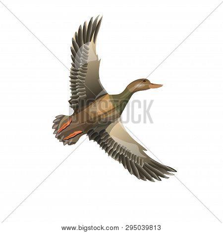 Flying Wild Duck (mallard). Vector Illustration Isolated On The White Background