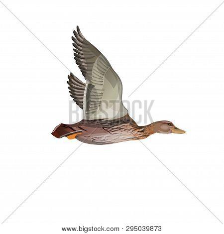 Mallard Duck Flight. Vector Illustration Isolated On The White Background