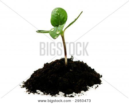 Young Sunflower Sprout In The Soil With Droplets