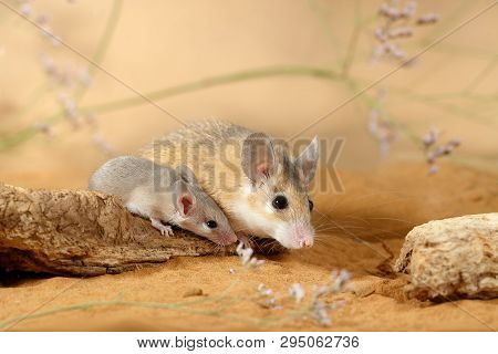 Close-up Female Spiny Mouse  And Little Mouse (acomys Cahirinus) Sits On The Snag In The Sand. Small