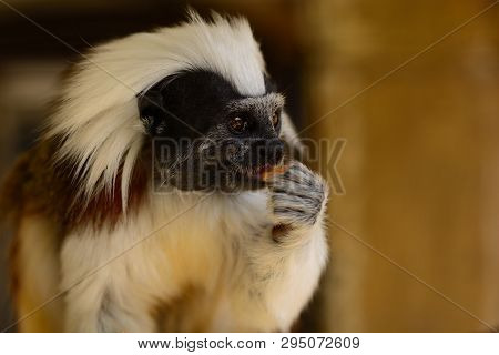 Portrait Of A Cotton Top Tamarin (saguinus Oedipus) Eating