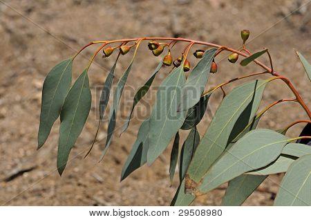 Flowering twig of Eucalyptus