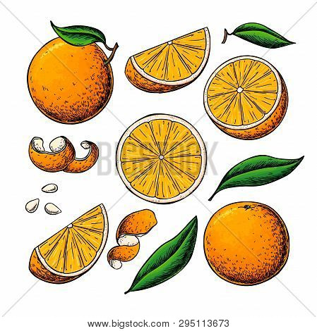 Orange Fruit Vector Drawing. Summer Food Engraved Illustration Isolated Hand Drawn Slice, Whole And