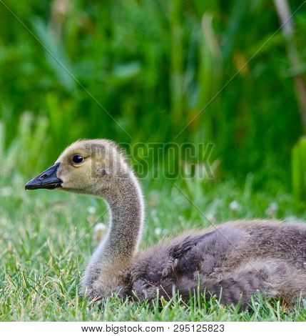 Beautiful Young Gosling In The Green Grass