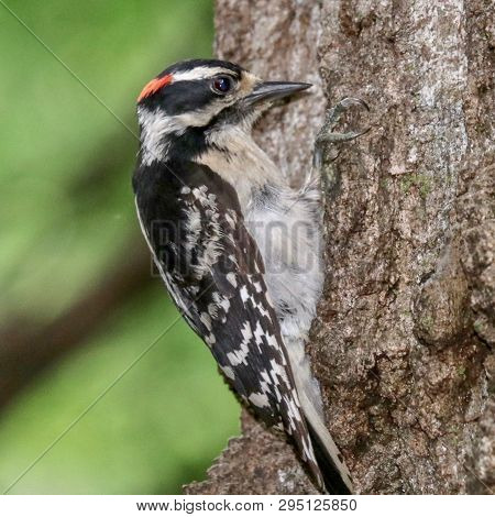 Downy Woodpecker Portrait On A Tree With Green Leaves In The Background, Closeup