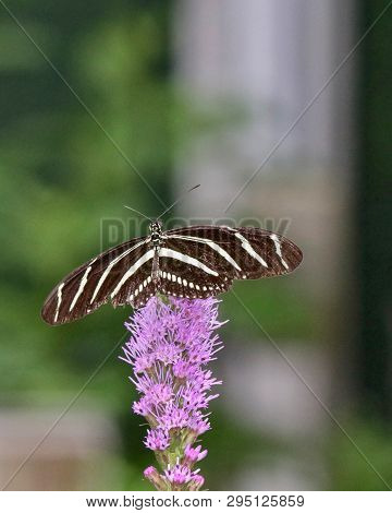 Zebra Longwing Butterfly Sitting On Top Of A Pink Thistle, Closeup