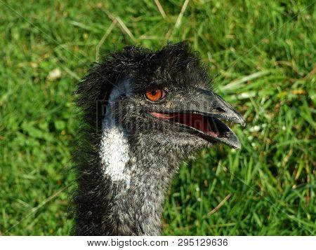 The Emu (dromaius Novaehollandiae) Or Der Emu, Abenteurland Walter Zoo - Gossau, Canton Of St. Galle