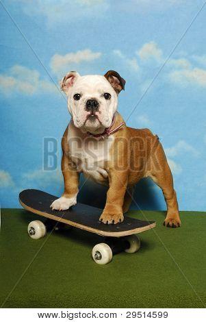 Bulldog Pup on a Skateboard