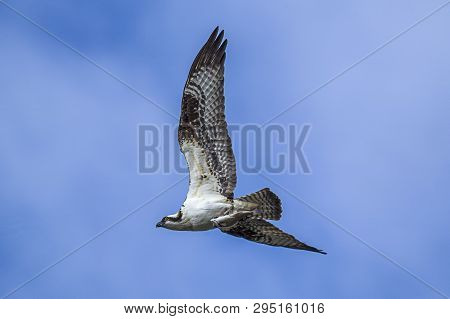 An Osprey Flies Up In The Sky With A Fish In Its Talons In Fernan, Idaho.