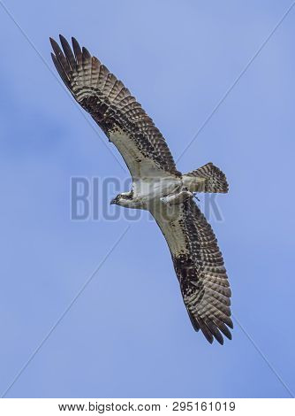 Osprey Flying After Catching A Fish. An Osprey Flies Up In The Sky With A Fish In Its Talons In Fern