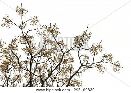 Chinaberry Tree Branches With Drupes On White Background.
