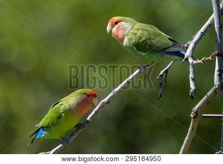 Two Lovebirds On A Branch In A Tree