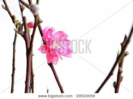 peach blossoms for chinese new year