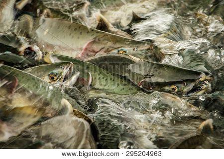 Close Up Of Salmon Run In South Alaska Around Prince William Sound