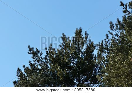 Crown Of Pine Trees In A Forest In The Spring Time Against The Blue Sky