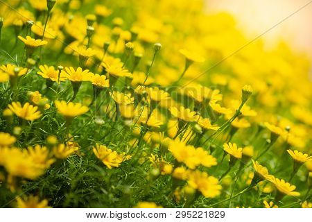 Side View Of Many Little Yellow Star Flowers With Green Leaf And Sunlight. It Is Use For Decorate We
