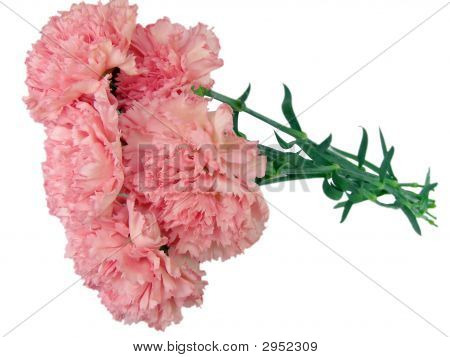 Pink Carnations Against The White Background